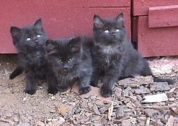 Samson, Midnight and Sloppy the three fluffy black kittens are sitting in front of a red wooden barn door and looking up to the right