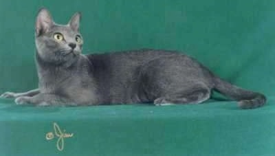 A Korat cat is laying on a green background and looking back to the right