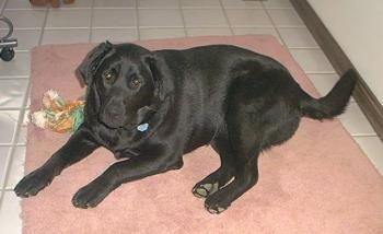 A black Labrador Retriever is laying on a pink throw rug on a tiled floor and there is a rope toy next to it