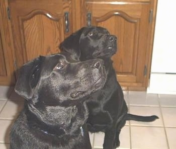 Two black Labrador Retrievers are sitting on a tan tiled floor and looking up