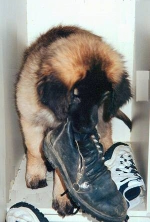 A brown with black Leonberger puppy is sitting in a locker and it has a boot in its mouth with a pair of sneakers next to and in front of it.