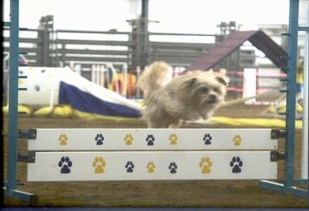 Lindsey the Yorkshire Terrier is jumping over a white agility wall with blue and yello paw prints all over it