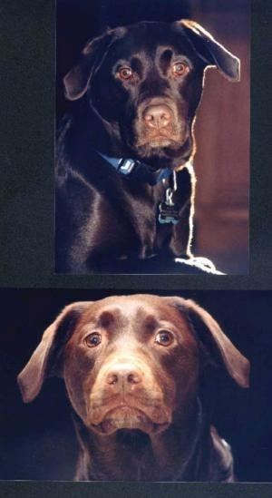 Top Photo - A Chocolate Labrador Retriever is laying on a carpet and looking forward. Bottom Photo - Close up head shot of a chocolate Labrador Retriever looking forward