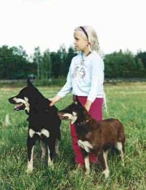 A blonde-haired girl in a baby-blue shirt and pink pants is standing in a field and holding the collars of two Lapinporokoira dogs. One is black with white the other is brown with white.