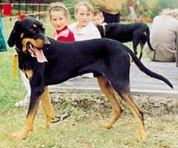 A black and tan Lithuanian Hound dog is standing in grass and it is looking to the opposite side of its body. Its mouth is open and tongue is out. There are people behind it sitting on a wooden deck.