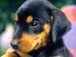 Close up the head of a black and tan Lithuanian Hound puppy.