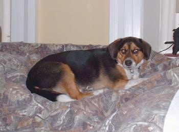 A tricolor, black, brown with white Beagle mix is laying on a human's bed.