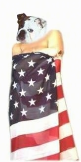 Mugzy the Bulldogs face is photoshopped onto the body of a man covered in an American flag