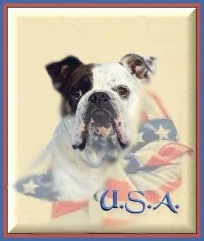 Mugzy the English Bulldog is on a photoshopped background. Mugzy is blended into an American Flag scarf. The Acroynym 'U.S.A.' is overlayed