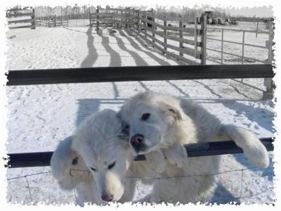 Maremma Sheepdog Pictures