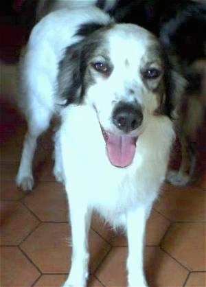 Front view - A white with grey Mucuchie dog is standing on a brown floor with another dog behind it. The Mucuchies mouth is open and tongue is out.