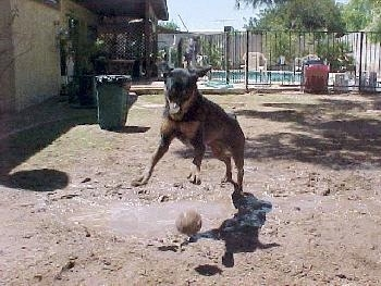 A black and tan dog Rottie is jumping around a ball in mud