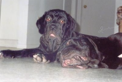 Neapolitan Mastiff Puppy Dogs