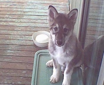 A black with grey and white Native American Indian Dog Puppy is sitting on a green mat on a wooden porch and in front of a glass sliding door.