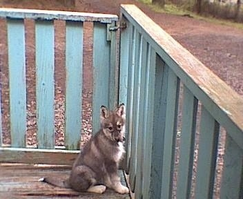 A perk-eared, black with tan and white Native American Indian puppy is sitting on a porch next to a green, wooden rail gate and it is looking towards the camera.