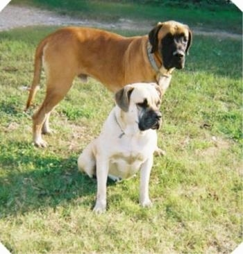 Two mastiff dog standing and sitting in grass - A tan with black Nebolish Mastiff is sitting in grass and behind it is a standing brown with black Nebolish Mastiff.