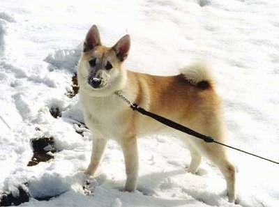 Norwegian Buhund Dog Breed Information And Pictures