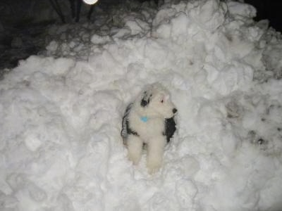 Front view - A grey with tan Old English Sheepdog puppy is sitting in a mound of snow looking to the right.