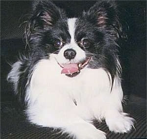 Close up front view - A happy looking, white and black Papillon is laying on a carpet looking forward. Its mouth is open and its tongue is out.