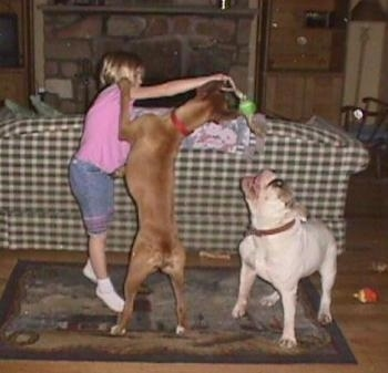 A blonde haired girl is holding a tennis ball on a stick over the head of a brown with white Boxer dog who is jumping up to get it and a white with brown Bulldog is looking up to bite it with its mouth open in a living room.