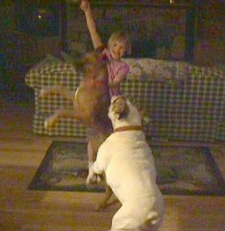 A brown with white Boxer and a white with brown Bulldog are jumpin after an item that was thrown in the air by a blonde haired girl in a living room.