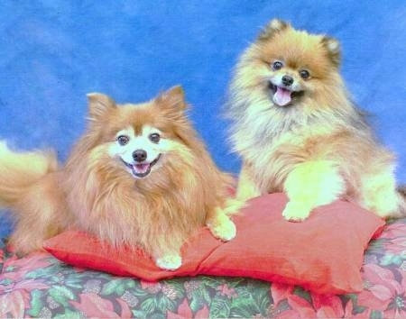 Two brown with white Pomeranians are laying on a red pillow that is on top of a poinsettia table cloth, behind them is a blue backdrop and they are looking forward. They are both happily panting.
