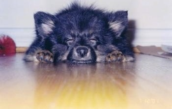 Front view with the angle down low level with the dog - A fluffy black with tan Pomeranian puppy is sleeping out in a hardwood floor.