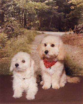 Max the Bich-poo puppy sitting in front of a backdrop of a wooded trail with another Bich-Poo sitting next to him