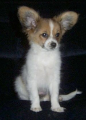 A large-eared, white with tan Papillon puppy is sitting on a black couch looking slightly to the right.