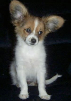 A large-eared, white with tan Papillon puppy is sitting on a black couch and it is looking to the right with its head tilted to the right.