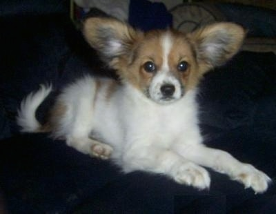 Front side view - A white with tan Papillon puppy is laying on a couch looking forward. Its front paws are at the edge of the couch. It has large perk-ears that are out to the sides.