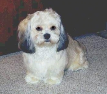 A soft-looking tan with white and black Peke-A-Poo is sitting on a tan carpet looking forward.