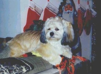 A soft looking, longcoated, tan with white and black Peek-A-Poo dog is laying on a bed looking to the left. There are Christmas stockings hanging on the wall behind it.