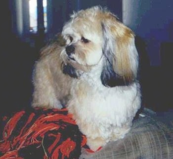 A soft looking, longcoated, tan with white and black Peek-A-Poo dog is standing on the back of a couch next to a red and black blanket looking to the left.