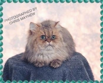 Shaded Golden male the Persian Cat is sitting on top of a stool that is covered in a blue shaggy blanket and looking to the right. The Border is green bubbles overlayed. The words 'Photographed by Chris Mayhew' overlayed