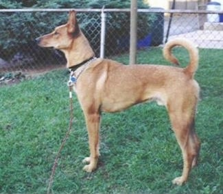 Left Profile - A tan Pharaoh Hound mix is standing in grass. The dogs tail is all the way up and curled over its back. There is a white block under the image that has the words - Mox - overlayed.