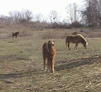 A brown with white Pony with blonde hair is standing in grass and it is looking forward. There are three other Ponies in the background.