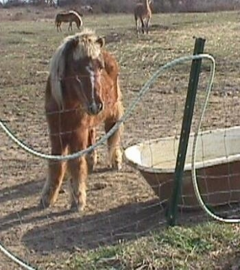 A brown with white pony with blonde hair is standing near a tub and it is in front of a wire fence. It is looking at a hose snaking through the fence.