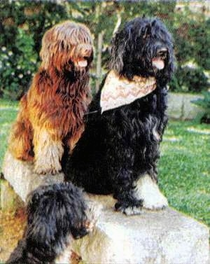 Two Portuguese Water Dogs are sitting on a concrete bench and to the left of the bench is another Portuguese Water Dog. They all are panting.