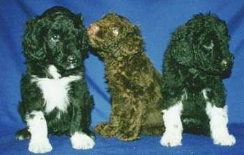 Three Portuguese Water Dog puppies are sitting on a blue backdrop. One of the puppies is licking the ear of a puppy to the left of it.