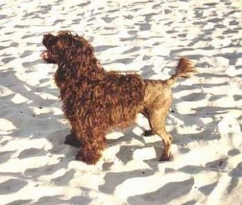 left Profile - A brown Portuguese Water Dog that is half shaved standing on sand and it is looking up and to the left. Its mouth is open and its tongue is out. It has longer hair on its front half and its back end is shaved very short.
