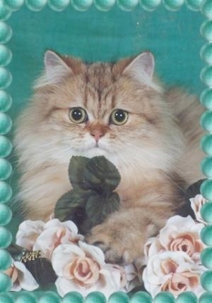 Shaded Golden Persian Cat is laying down posed for a photo in front of flowers. There is a green background behind it. There is a photoshopped border of green bubbles overlayed