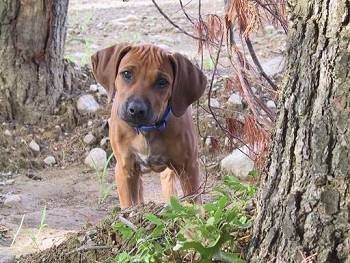 Front view - A Rhodesian Ridgeback puppy is standing next to a tree it is looking forward and its head is tilted slightly to the right.