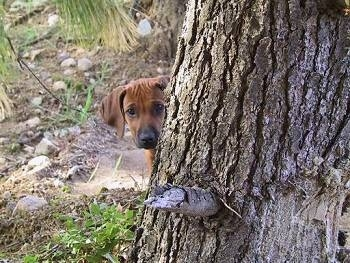 A Rhodesian Ridgeback puppy is standing behind a tree and its head is popping out of the side.