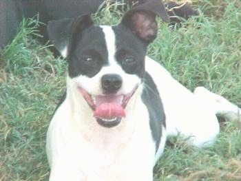 Close up front view - A white with black Rat Terrier is laying in grass. Its mouth is open and its tongue is curled out.