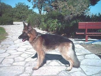 Rex the German Shepherd is standing on a stone pathway outside. There is a red bench behind him.