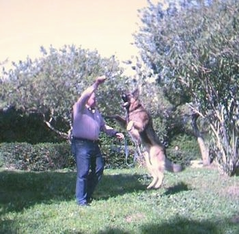 Rex the German Shepherd is jumping up with all four paws off of the ground to grab a stick out of the hands of a man in a backyard