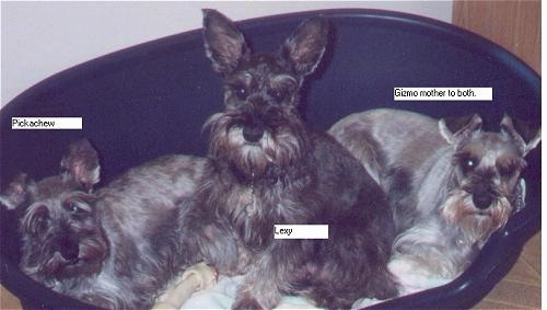 Three Miniature Schnauzers are laying and sitting in a blue dog bed and they are all looking forward.