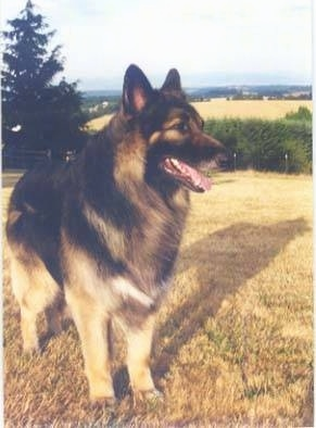 A longhaired, black and tan Shiloh Shepherd is standing on brown grass, it is looking to the right, its mouth is open and its tongue is out.