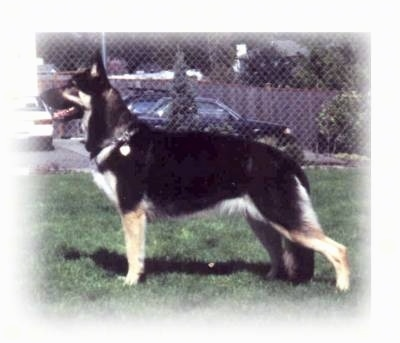 Left Profile - A shorthaired black with tan Shiloh Shepherd is standing across a grass surface and it is looking to the left. There is a chain link fence behind it.